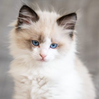 Can You Guess the Popular Cat Breed Based on Its Kitten Picture?