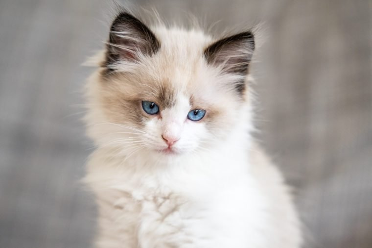 Can You Guess The Cat Breed From Its Kitten Picture Reader S Digest