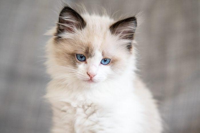Ragdoll Kitten Blue Eyes Cat at home
