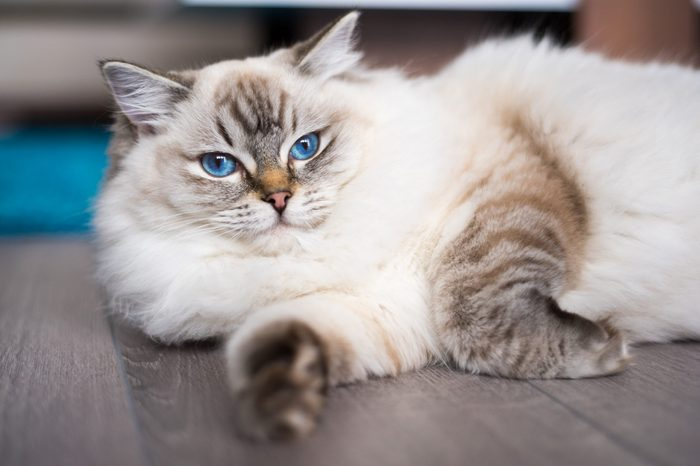 Ragdoll cat lying on the wooden floor