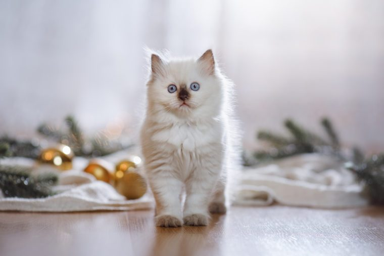 Ragdoll blue point little kitten on a colored background studio, Christmas and New Year, holidays and celebration