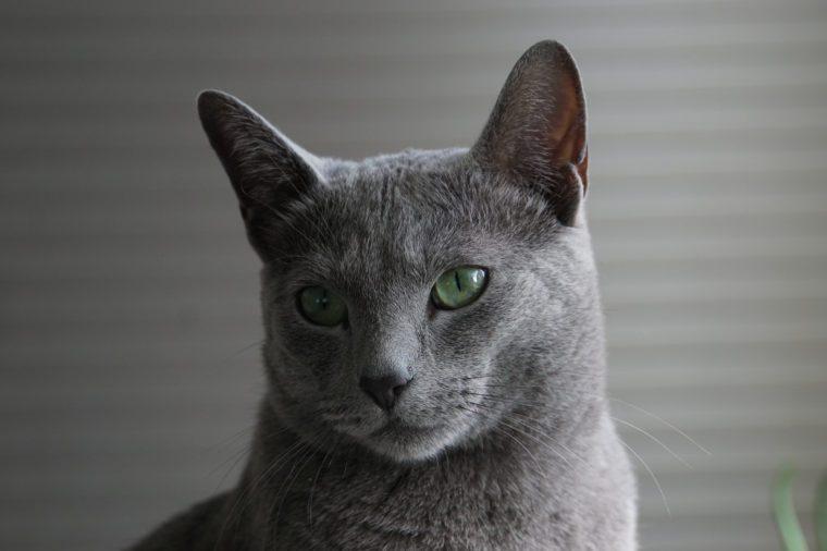 Russian Blue Cat close up face