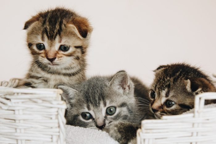 Three Scottish Fold marble color kittens in a white wicker basket. raised their heads up. kittens with blue galazami. Place for text - medicine concept, pets, vaccinations and allergies, animal protec