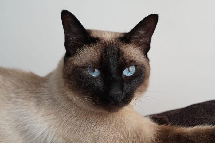 Tonkinese cat posing for photos