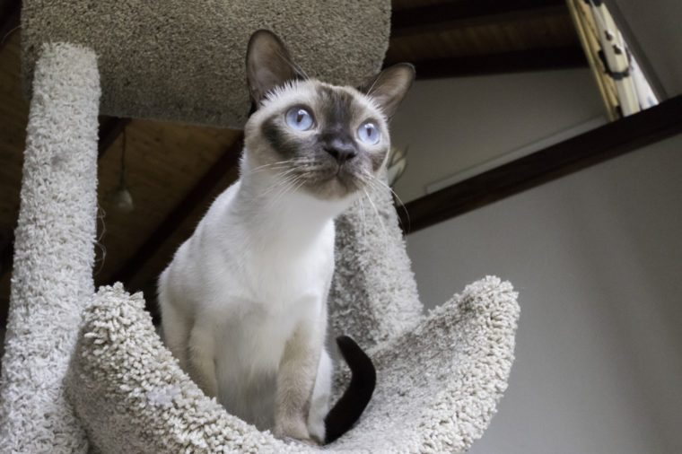 Tonkinese cat looking on cat tower