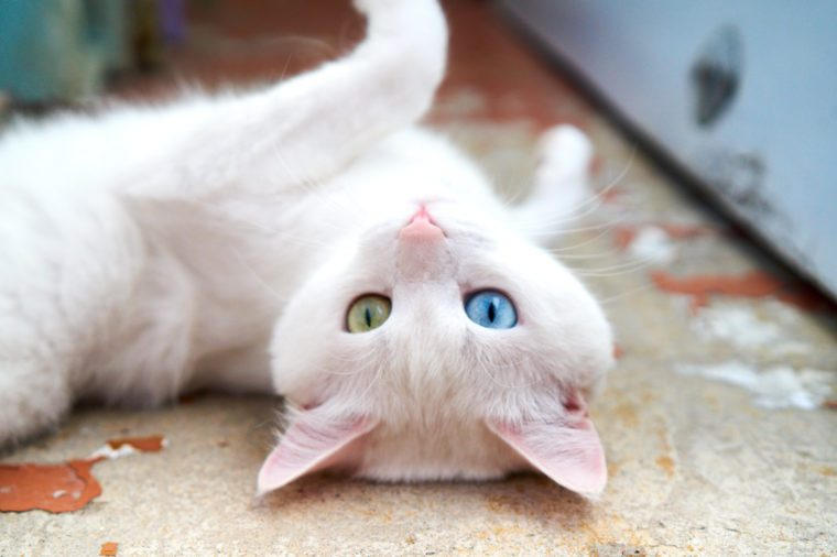 White cat with different eyes. Odd-eyed kitten. Cat with 2 different-colored eyes, heterocromatic eyes — Turkish Angora. It is a cat with heterochromia. Cat looking straight, on the grey background