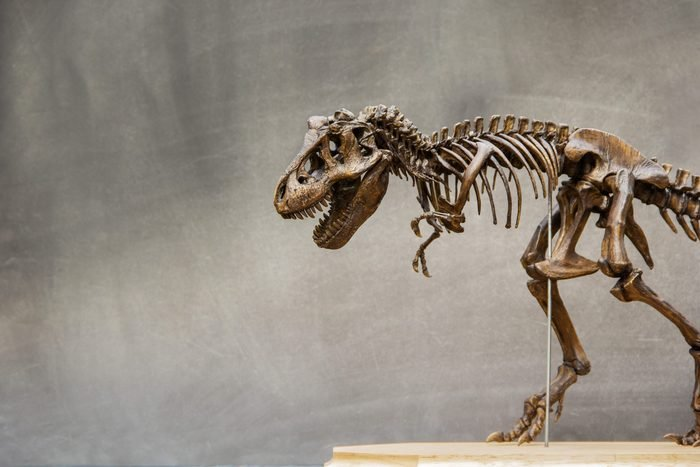 Fossil skeleton of Dinosaur king Tyrannosaurus Rex ( t-rex ) on wooden base and blackboard background retro vintage style and copy space.