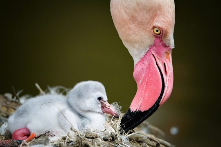 Flamingos (Phoenicopteridae) newborn baby with his mother.