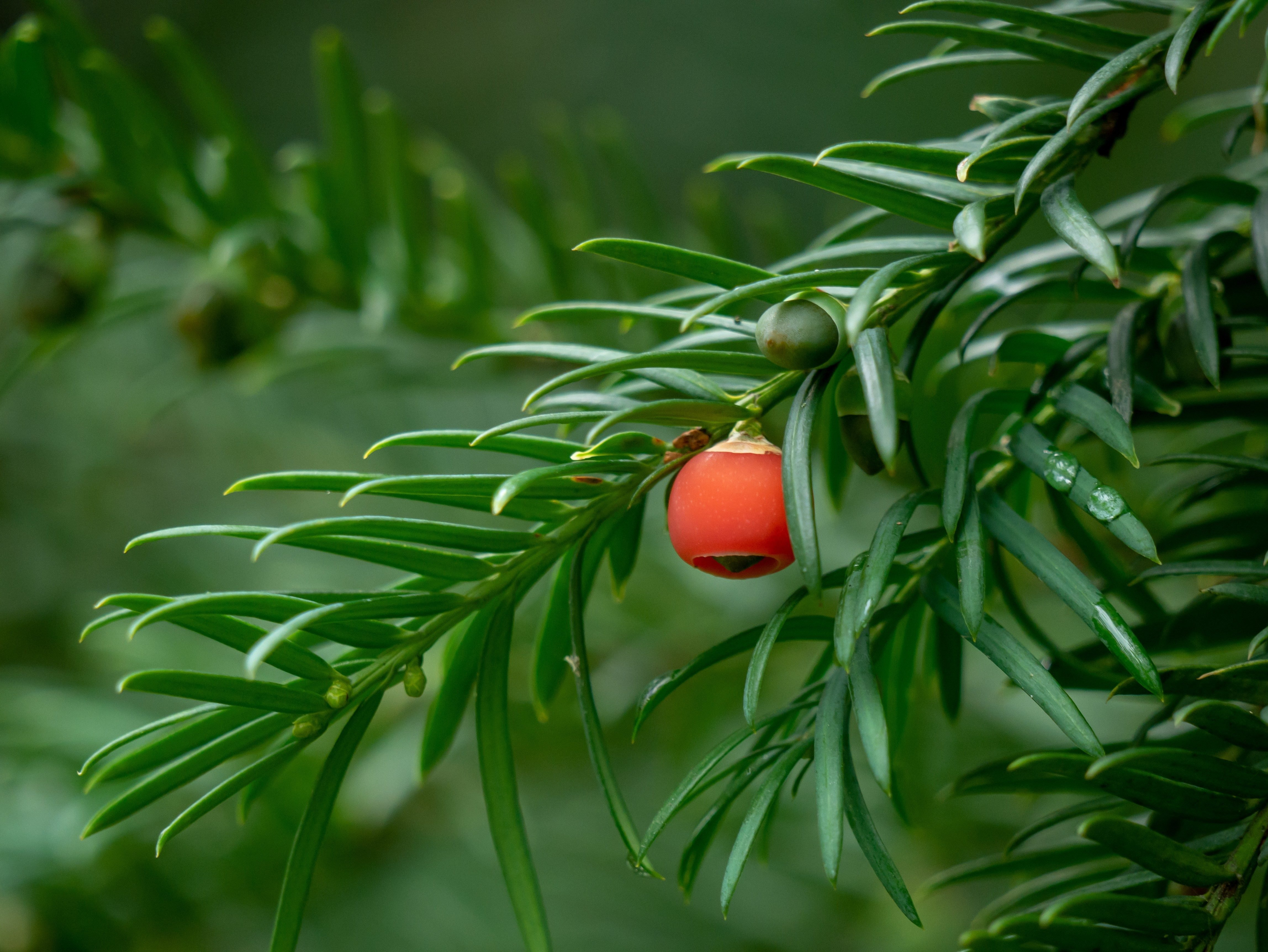 Taxus baccata closeup. Conifer needles and fruits. Green branches of yew tree with red berries (Taxus baccata, English yew, European yew). Green coniferous.