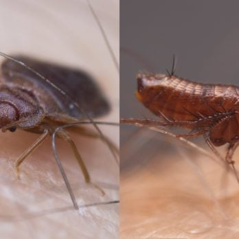 What's the Difference Between Bed Bugs and Fleas?