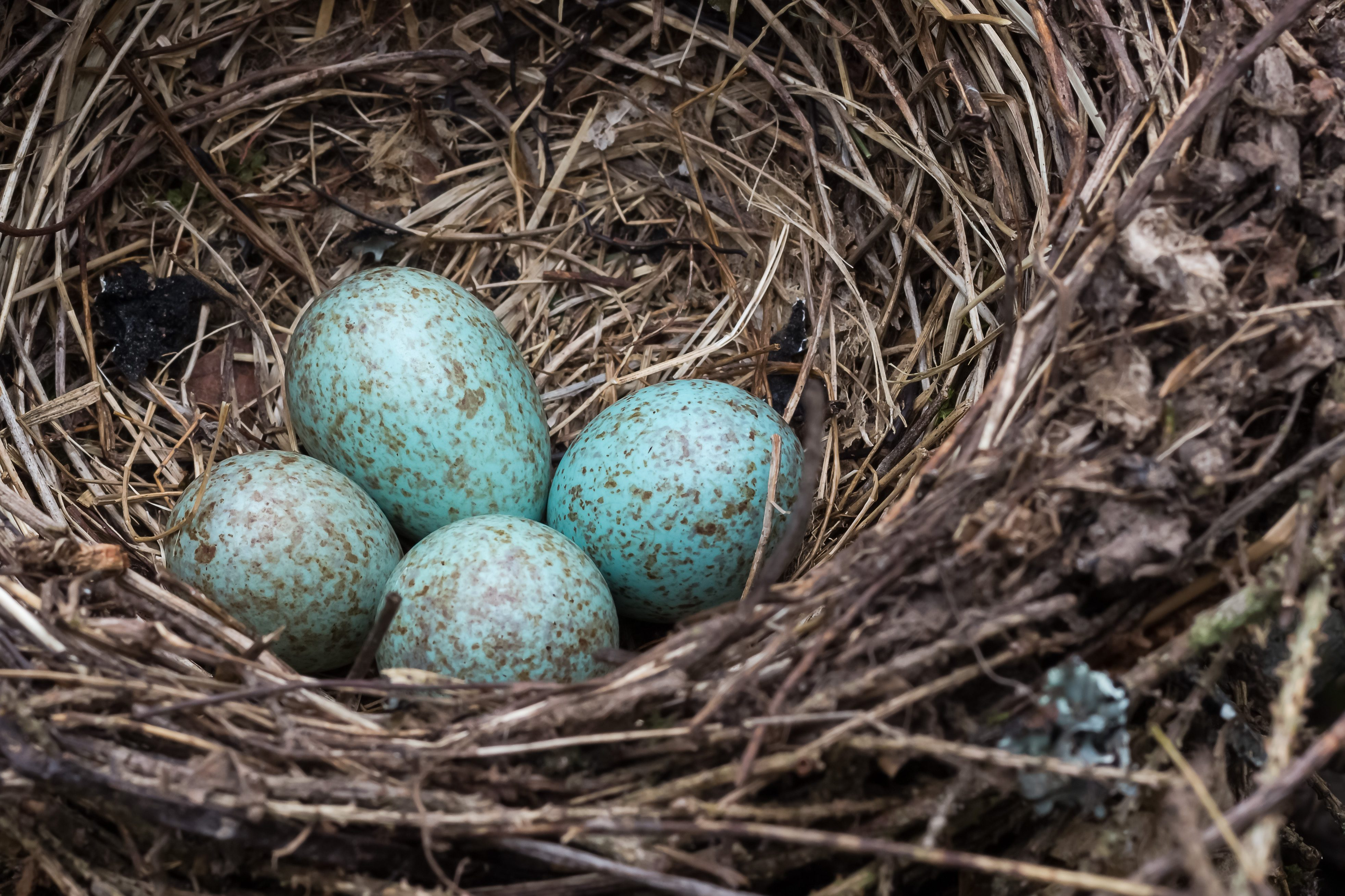 A blue jay's nest with blue eggs.