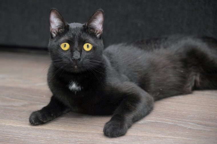 cute black bombay cat with bright yellow eyes