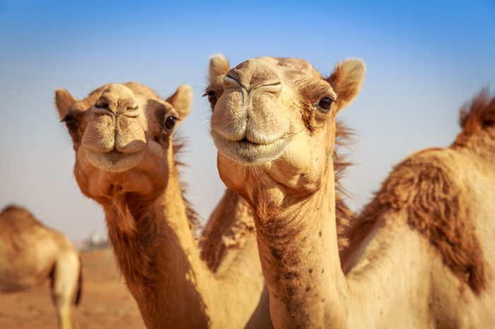 Camels in Arabia, wildlife