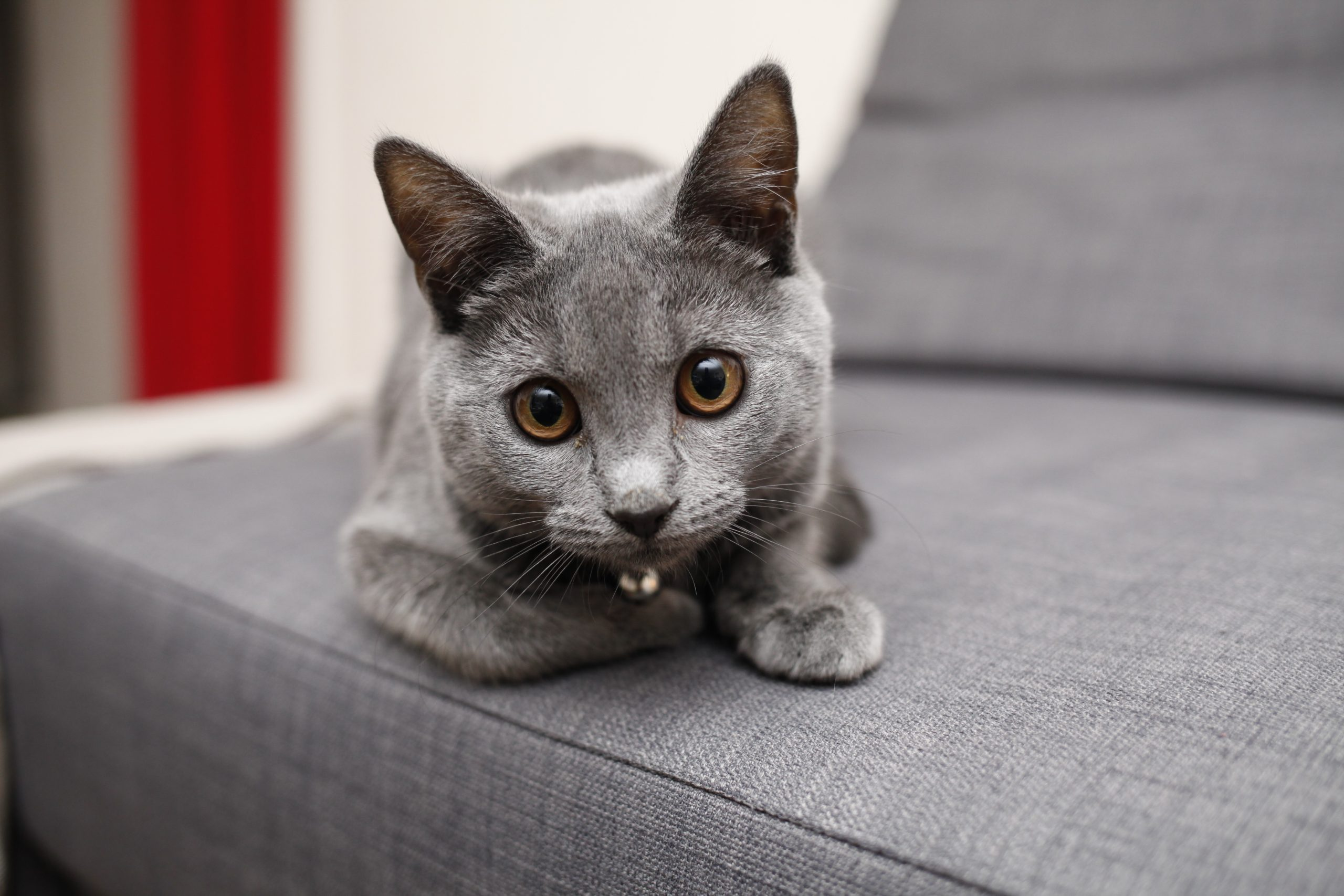 Grey chartreux kitten laying on a grey couch