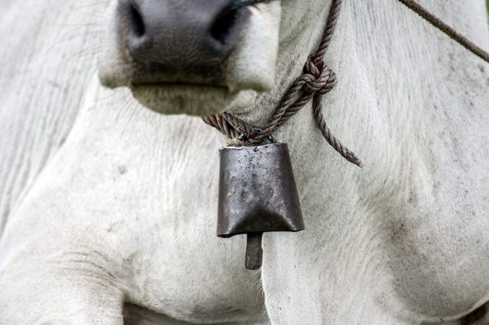 bell on neck of cow