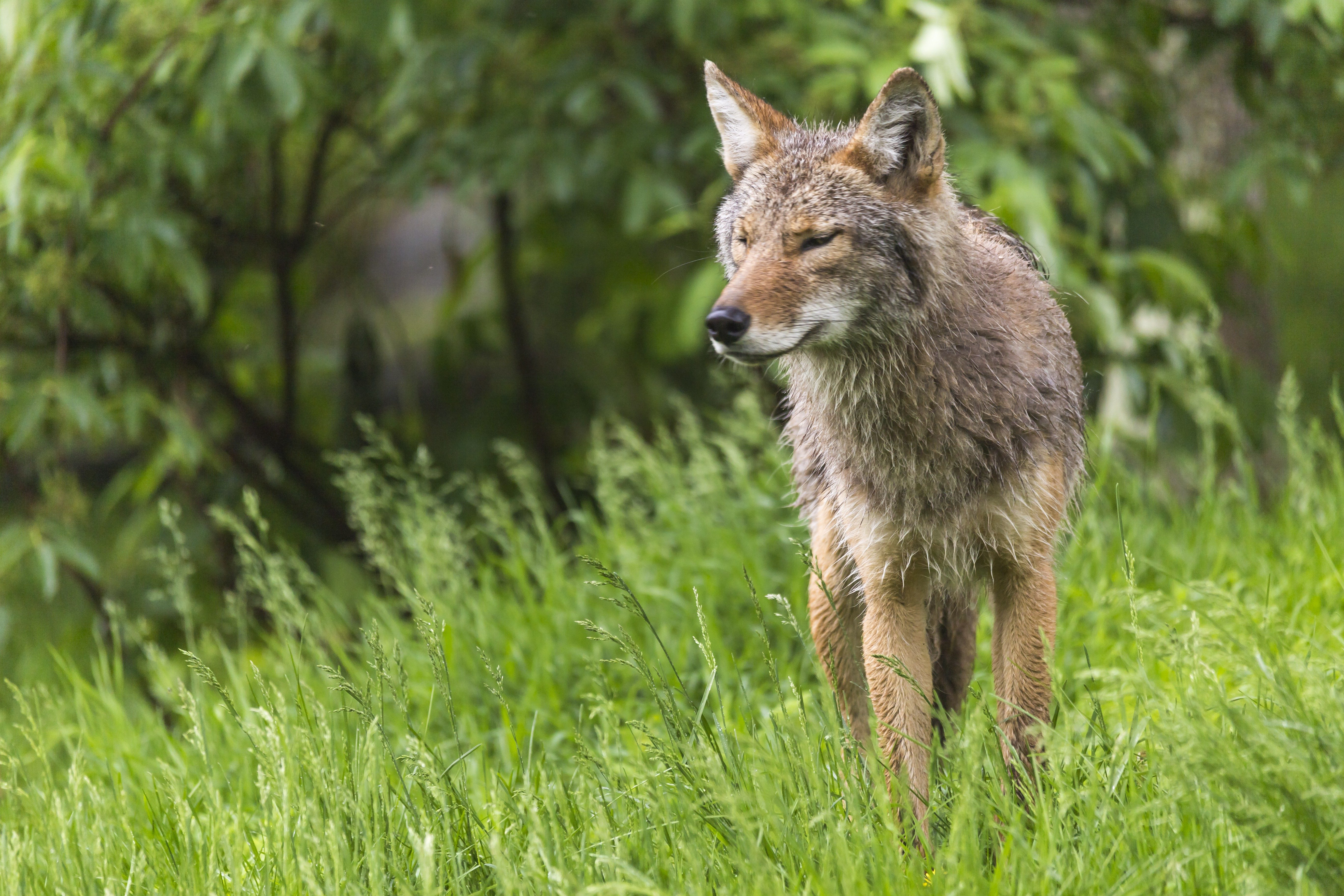 A lone coyote in a forest