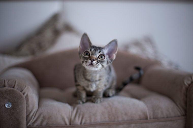 kitten devon rex sitting on the sofa at home
