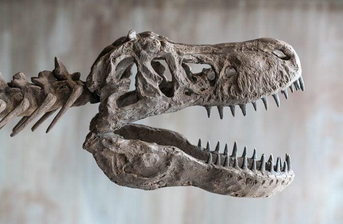 Tyrannosaurus rex skull.Close up of Giant Dinosaur : T-rex skeleton