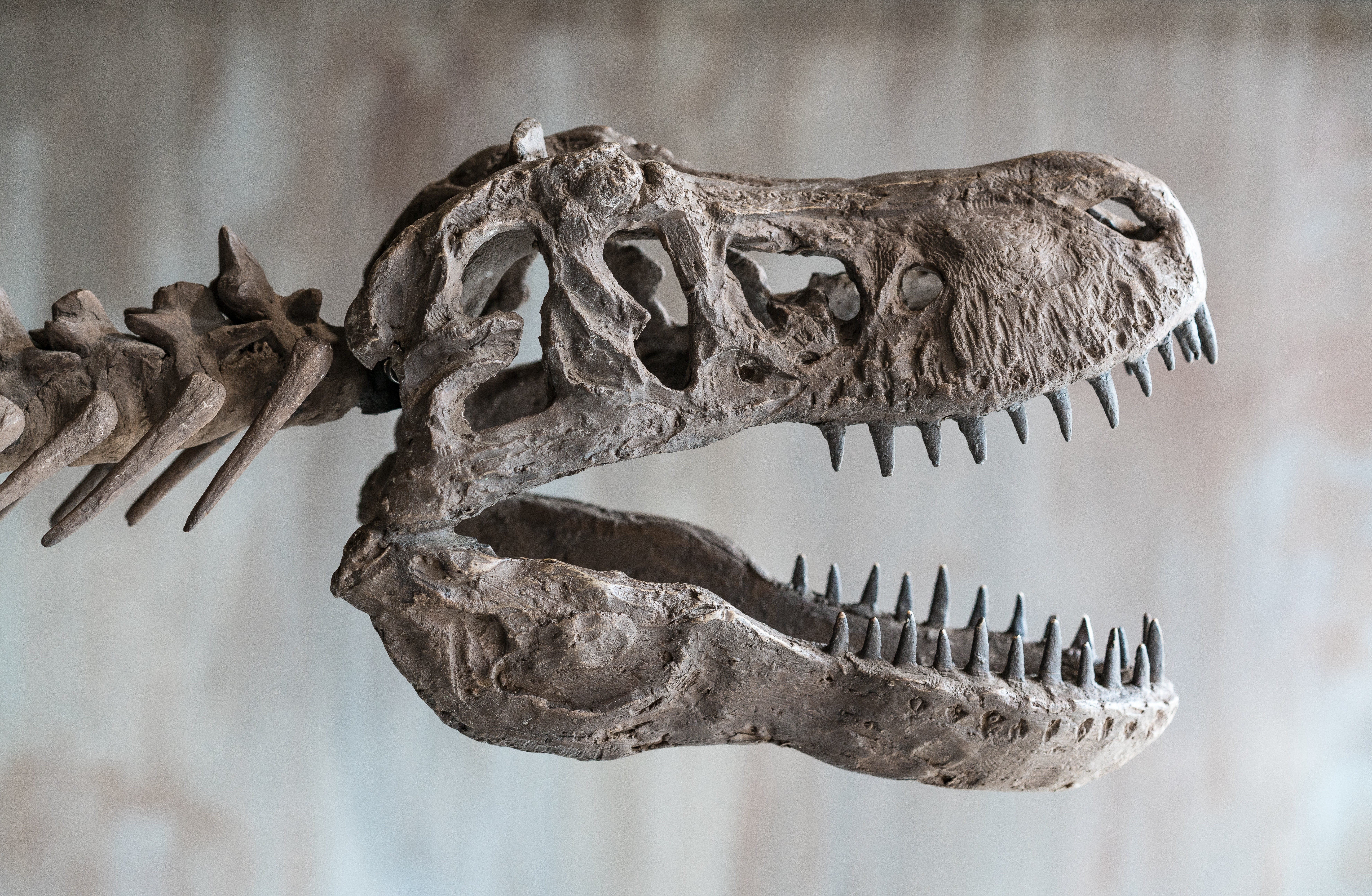 Tyrannosaurus rex skull.Close up of Giant Dinosaur : T-rex skeleton