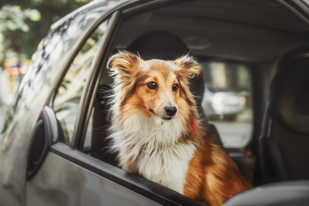 Two dogs at the car. German shephered dog and Shetland Sheepdog inside the car