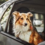 Do Dogs Need Seat Belts?