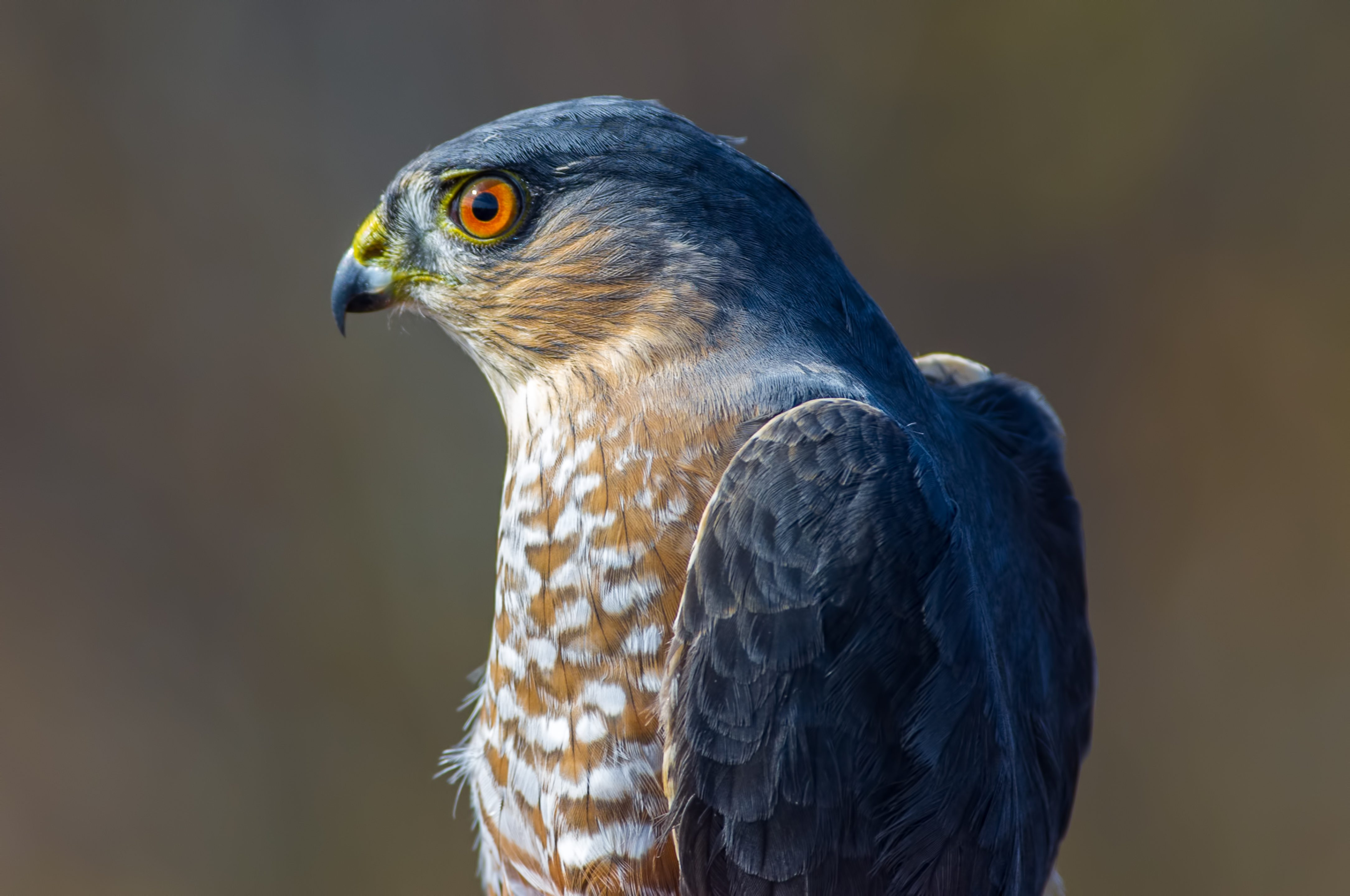 Sharp-shinned hawk portrait taken during Fall bird migrations at Hawk Ridge Bird Observatory in Duluth, Minnesota