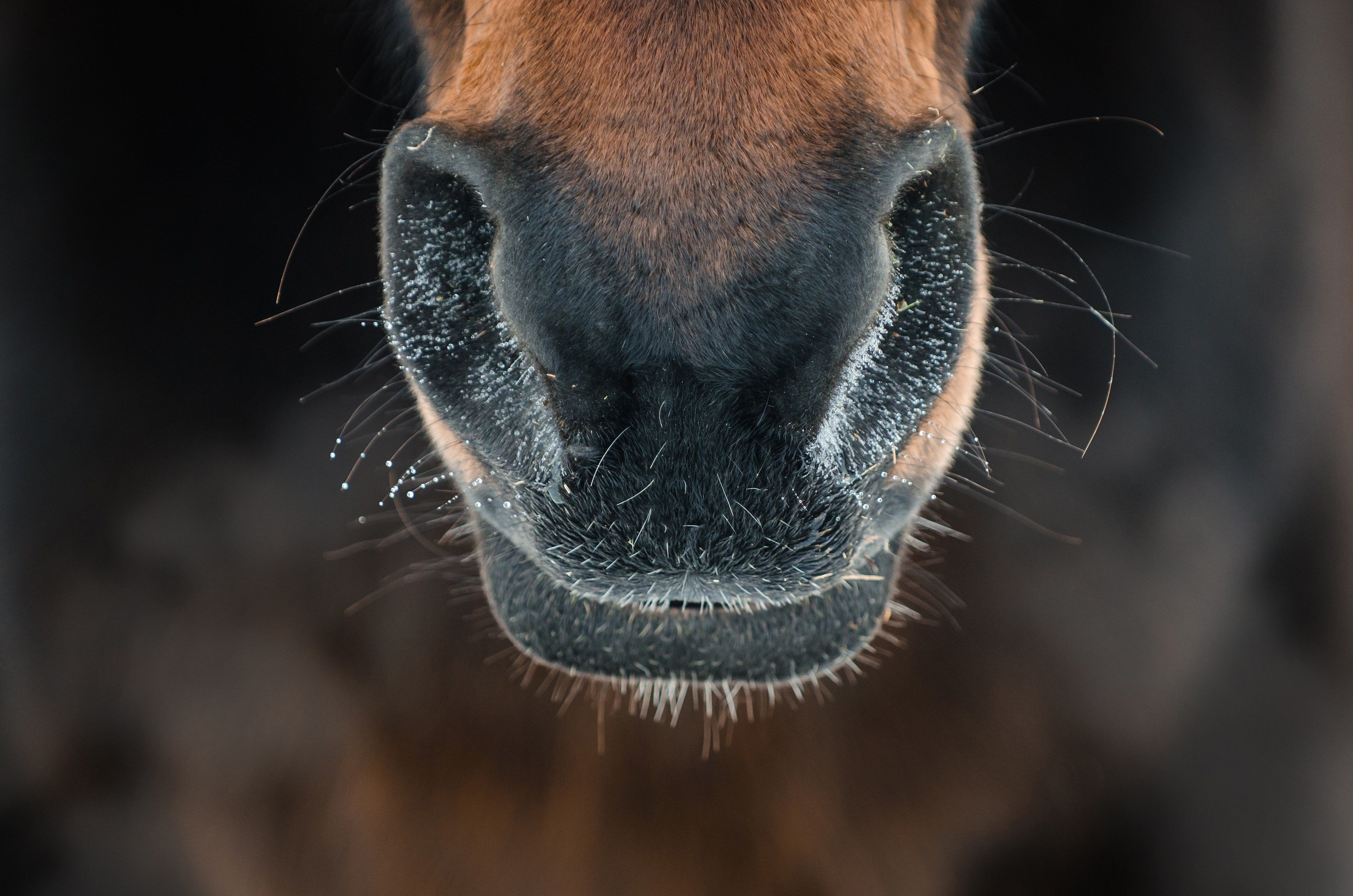 horses nostrils blowing steam