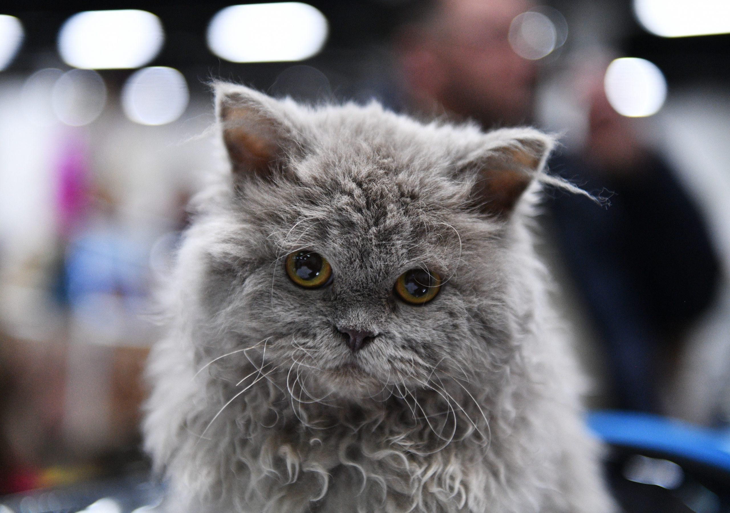 A selkirk rex kitten
