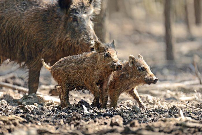 wild boar babies
