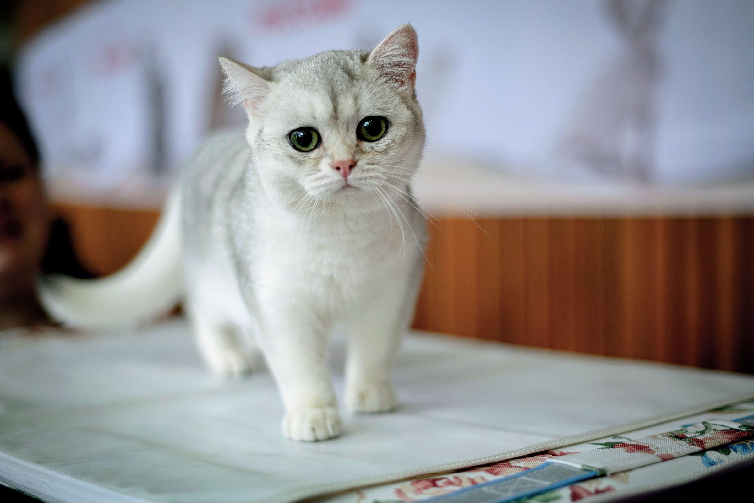 Kitten breed British chinchilla