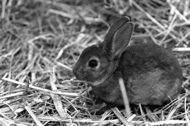 Mini Rex is a breed of domestic rabbit that was created in 1984 in Florida. The Rex mutation, derived in France in the 19th century, They weigh from 3.5 to 4.5 pounds when fully grown.