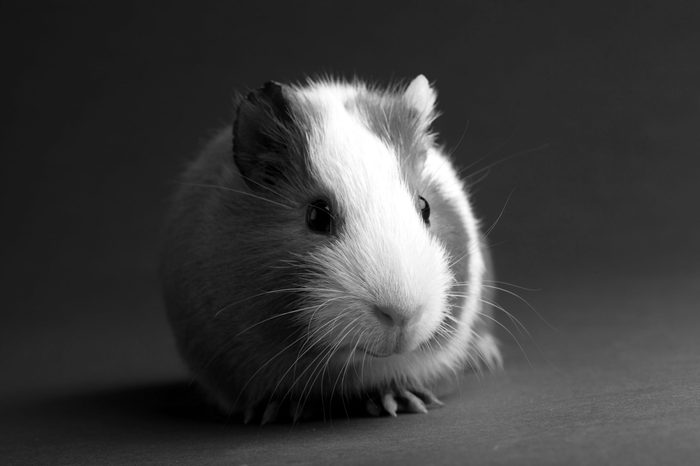 brown guinea pig on grey backgrounds