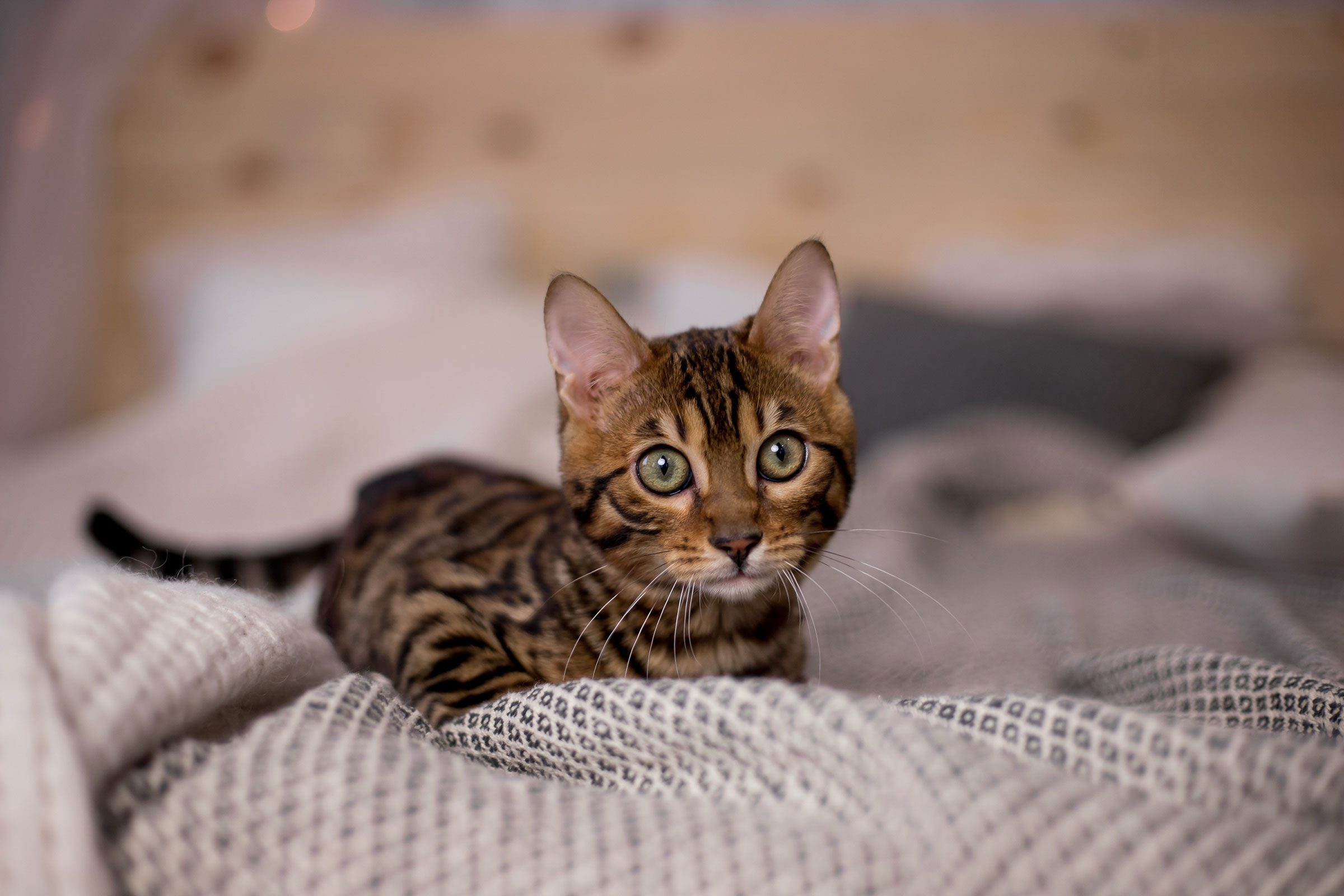 See The Cutest Cat Breeds As Kittens Reader S Digest