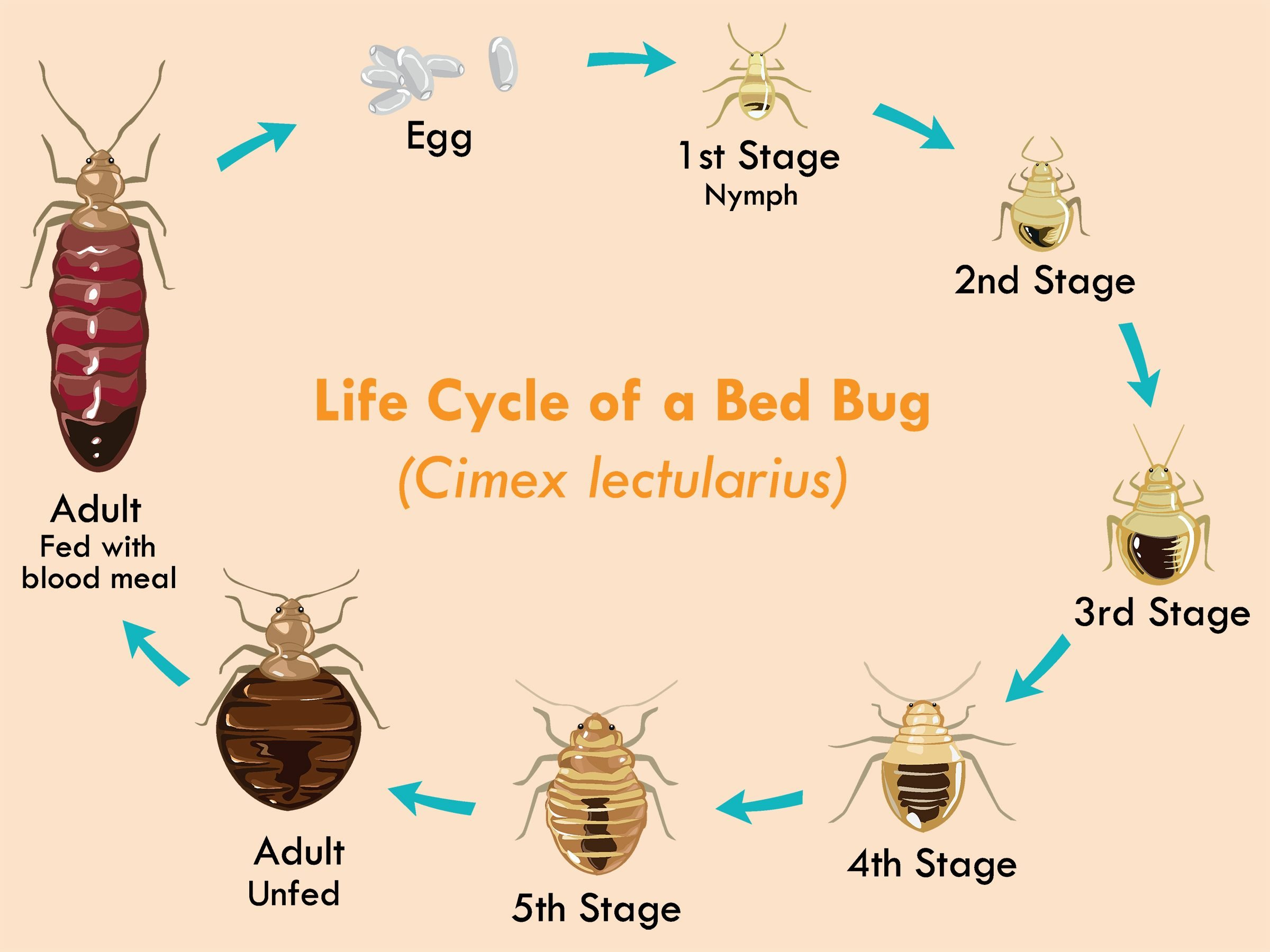 The Bed Bug Life Cycle Explained Reader S Digest