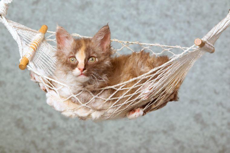 Pretty Tortie kitten in mini hammock on blue background