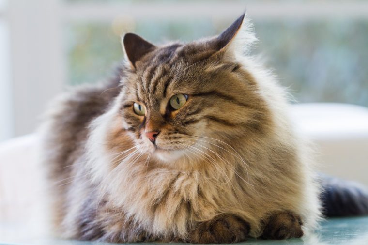 Gorgeous fur cat of siberian breed in a garden,long haired hypoallergenic pet
