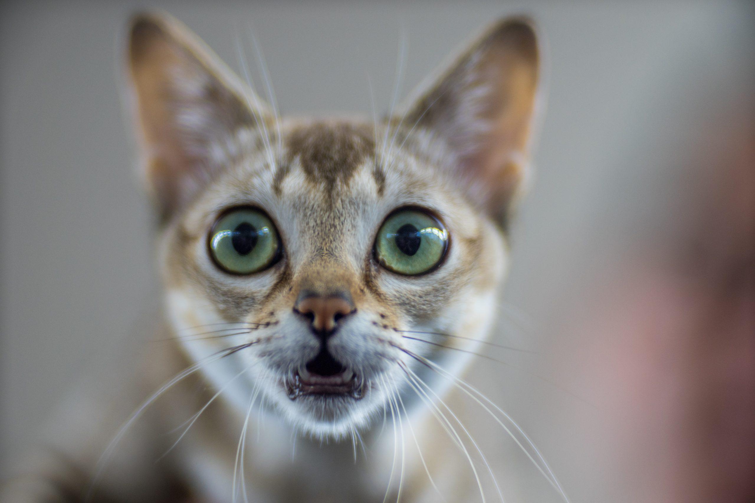 Singapore cat - portrait - Pedigree Cat