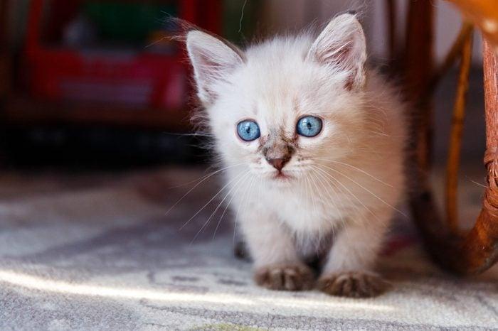 Little tonkinese kitten