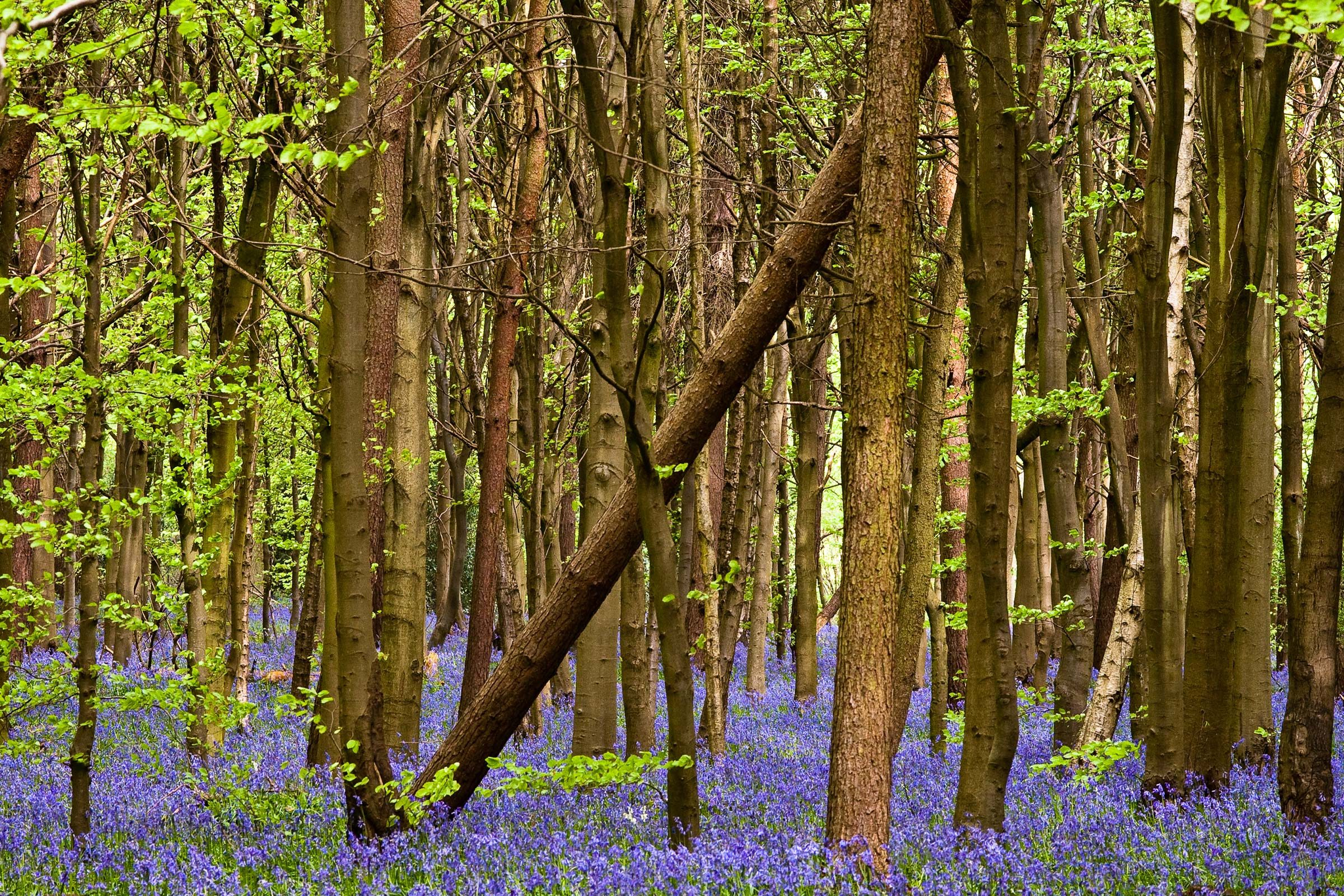 Bluebells in Whippendell Woods located in Watford, Hertfordshire.
