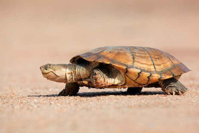 Helmeted terrapin (Pelomedusa subrufa) walking on land, South Africa