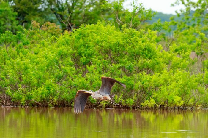 A great Blue Heron taking off to look for a new hunting spot at Lake Eufaula State Park in Checotah, Oklahoma 2017