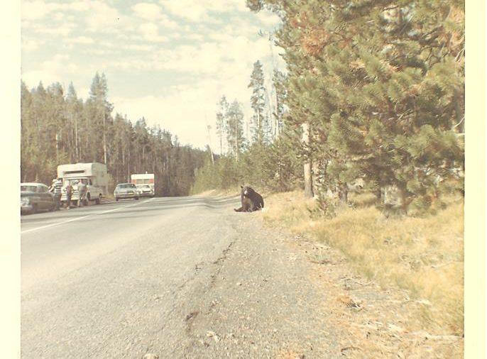 yellowstone roadside bears