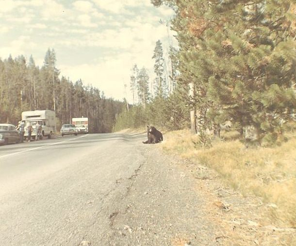 yellowstone roadside bears