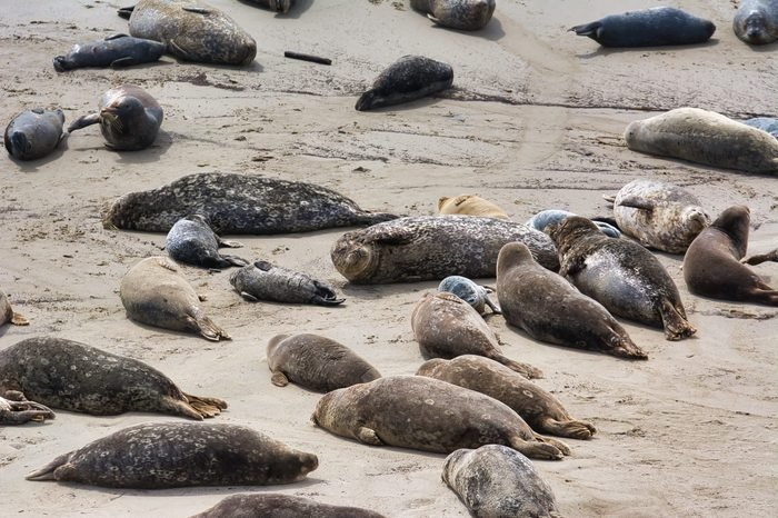Harbor seals and newborn cubs lying on a beach at a rookery