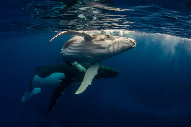 Humpback Whale and Baby