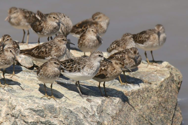 Least and Semipalmated Sandpipers
