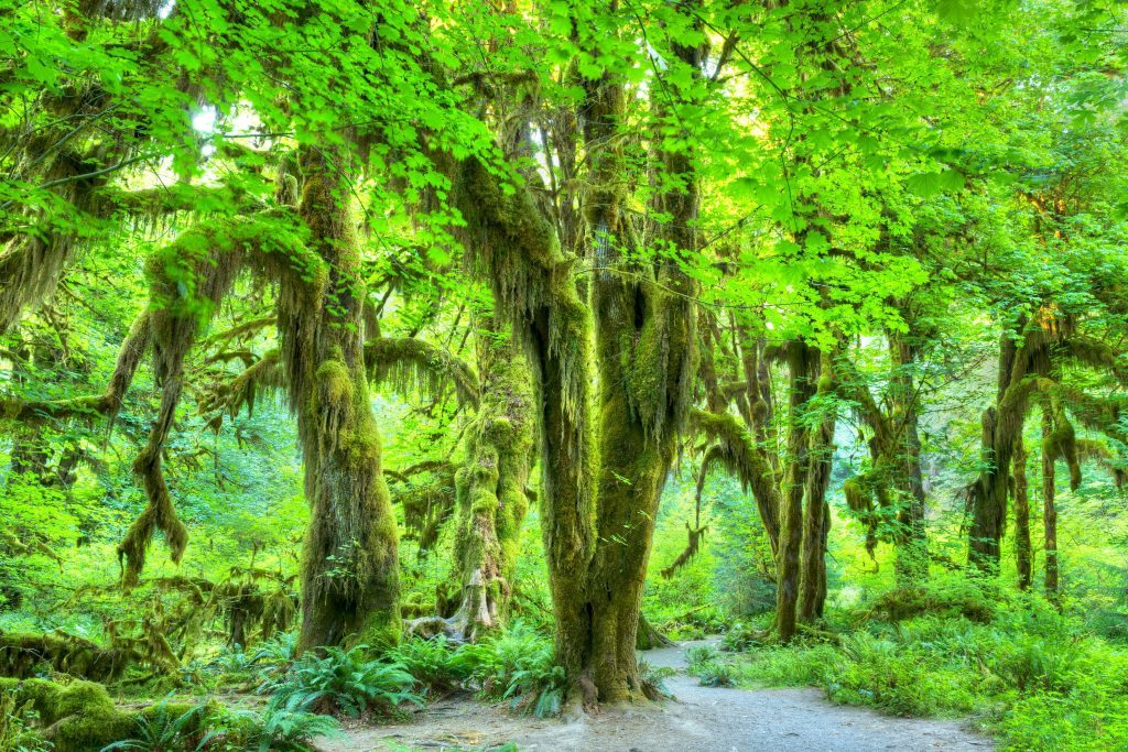 Olympic National Park/Hoh Rainforest.The Epic Hall Of Mosses Trail.Trees covered in moss in a temperate Hoh Rain Forest.