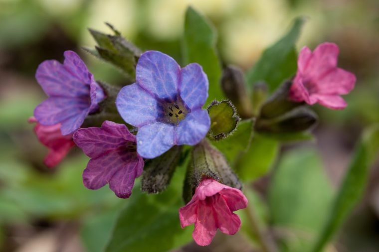 Pulmonaria Flowers lungwort medicinal plant