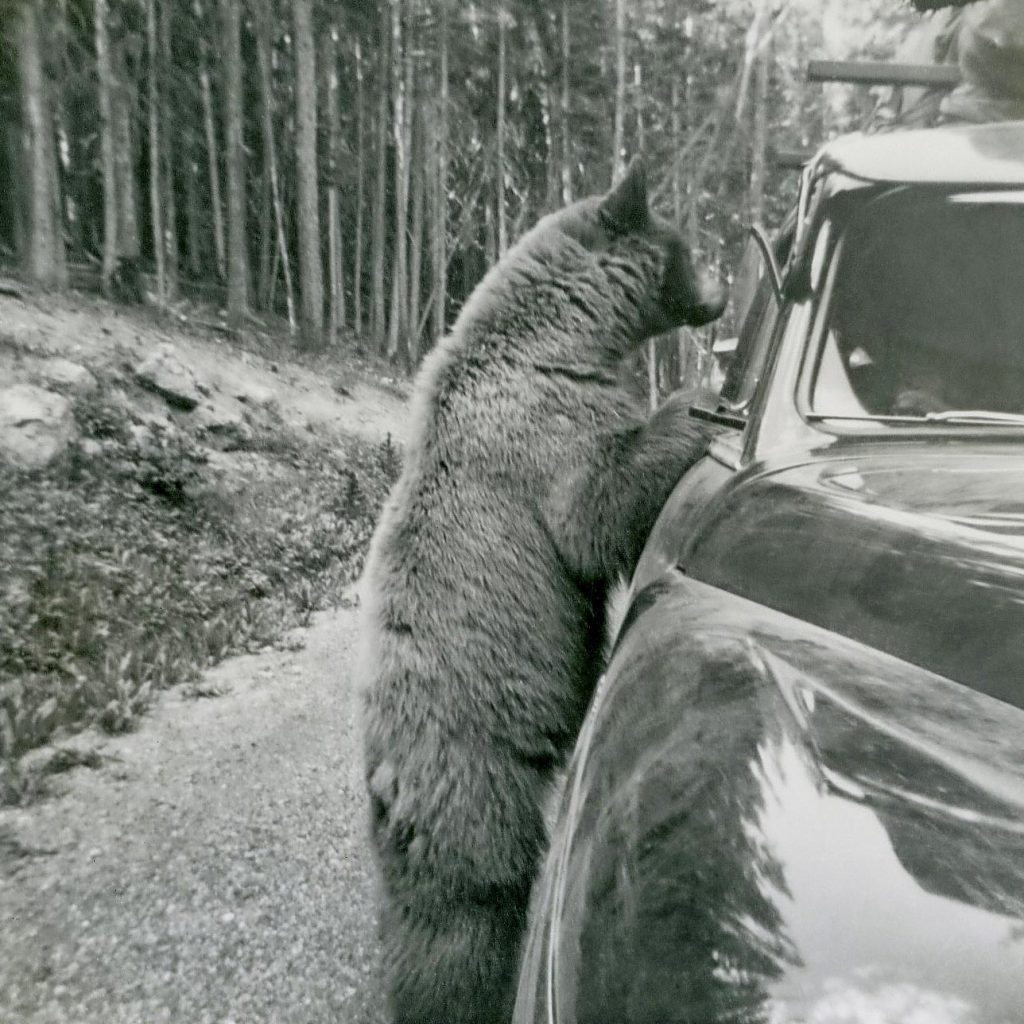 bear yellowstone