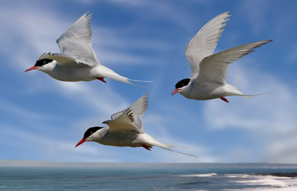 Whilst their mates incubate their eggs, these Arctic Terns head out to sea in search of food.